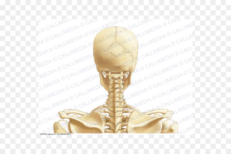 Posterior Triangle Of The Neck Head And Neck Anatomy Vein Cervical