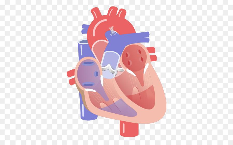 Sistema de conducción eléctrica del corazón el Corazón de la válvula ...
