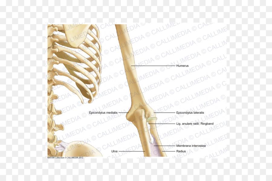 Hueso de la anatomía Humana Brazo plano Coronal - brazo png dibujo ...