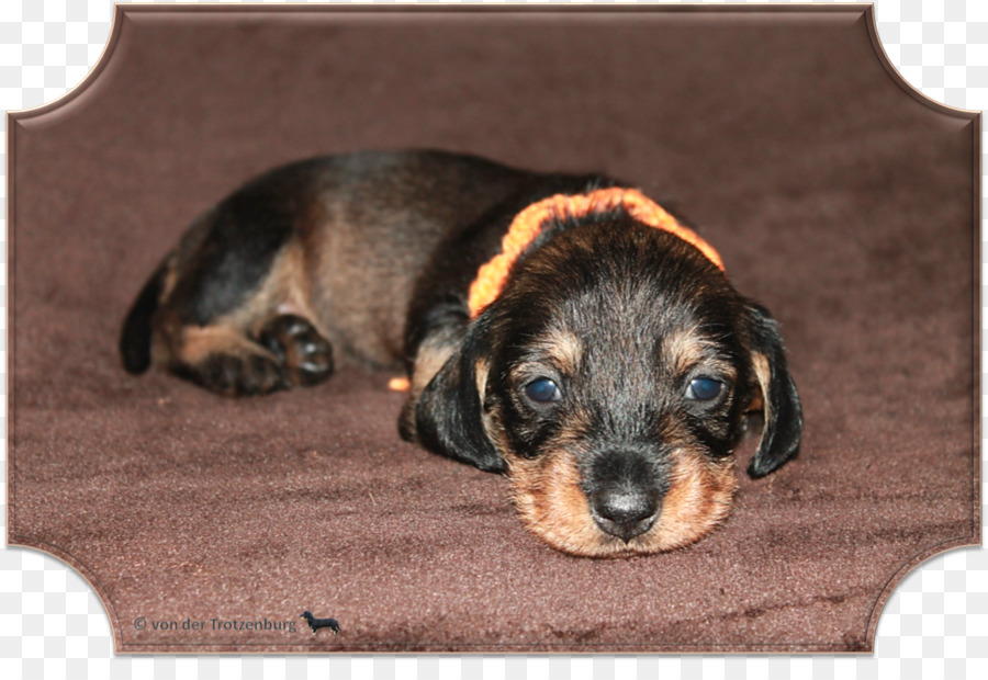 png download - 1674*1125 - Free Transparent Dog Breed png Download