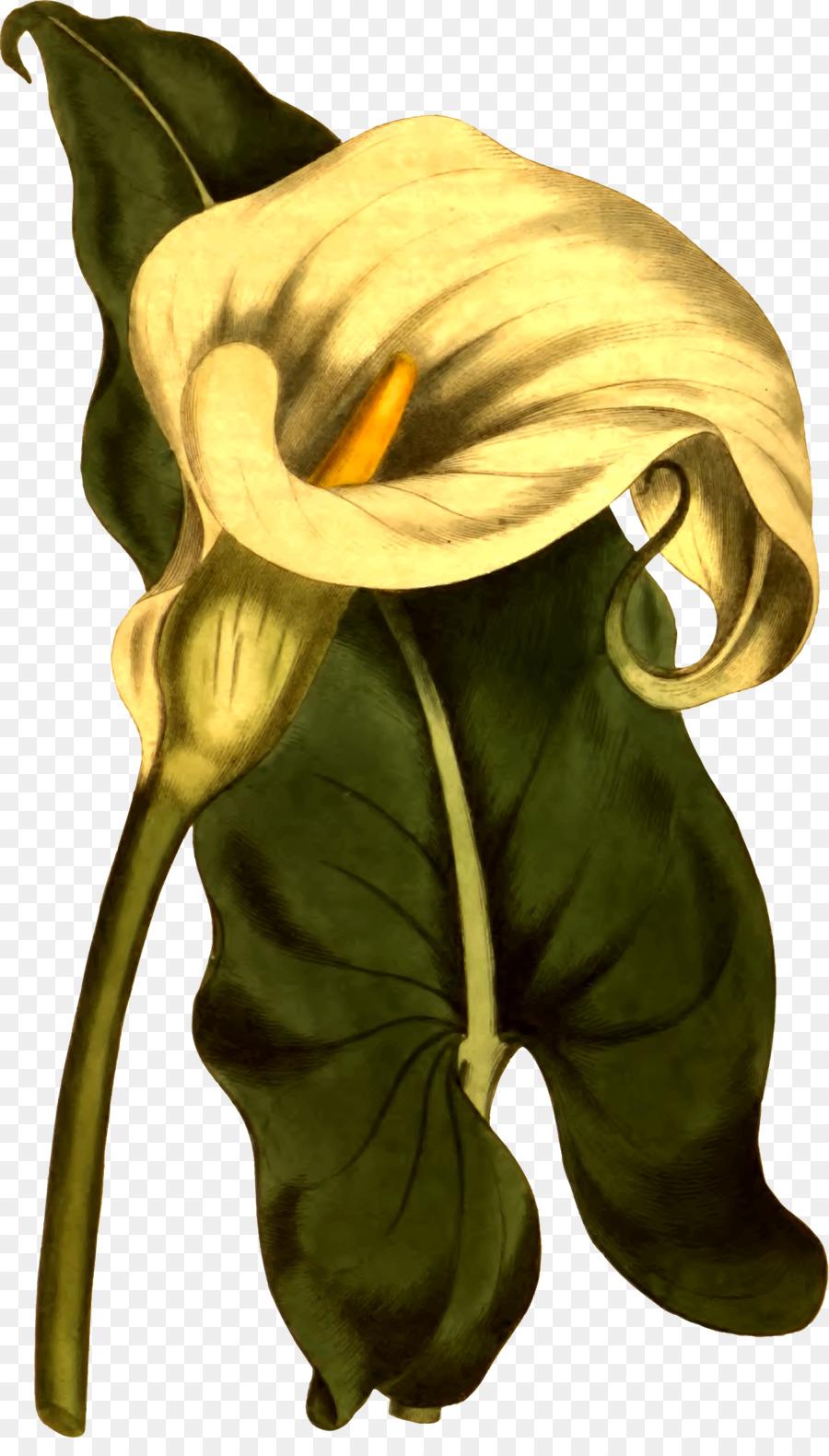 Flower Arum Lily Botanical Illustration Lilium Anatomy Flower Png