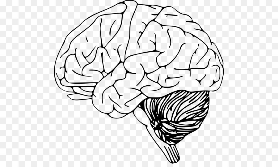 Outline Of The Human Brain Drawing Clip Art Brain Png Download