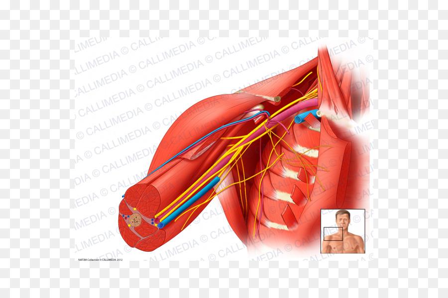 Axillary Nerve Triceps Brachii Muscle Axillary Artery Cubital Fossa