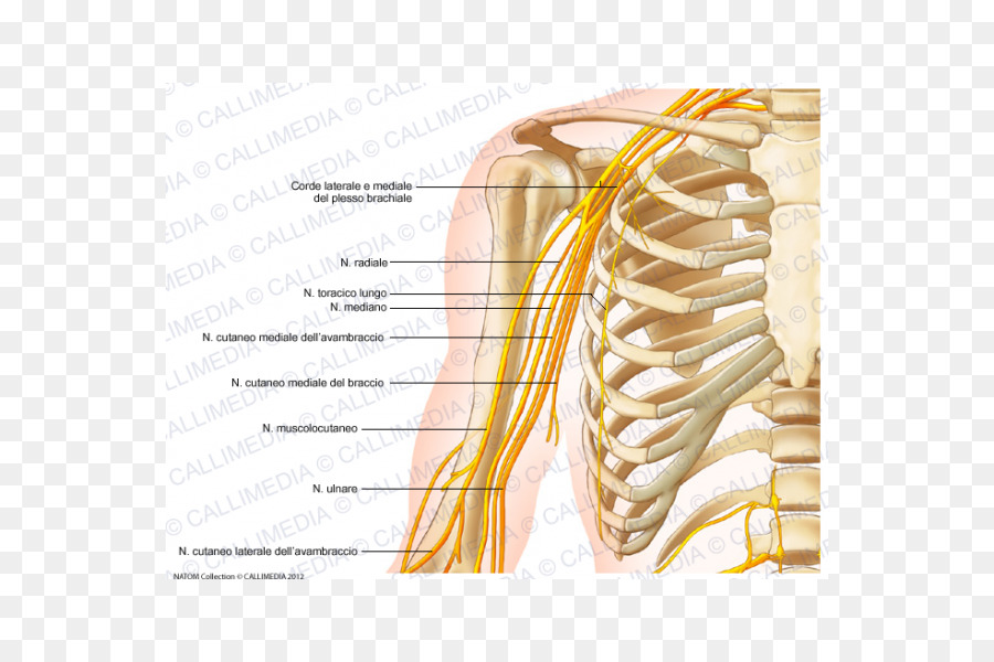 Nervous System Arm Anatomy Human Body Nerve Arm Png Download 600