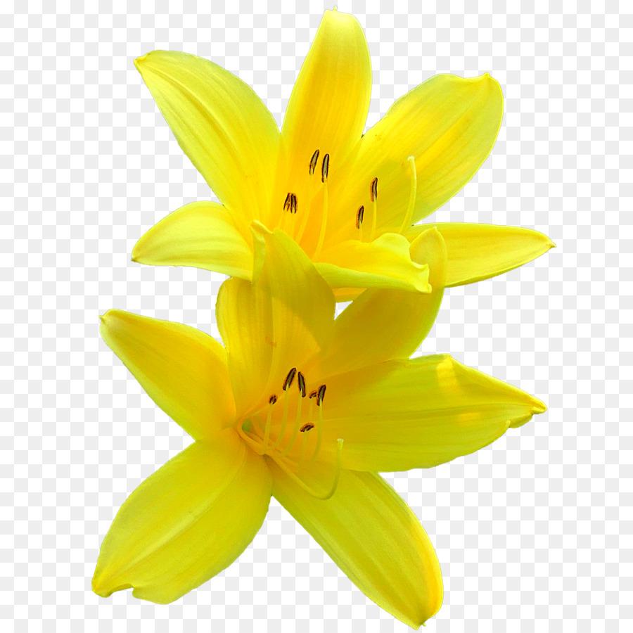 Lilium Yellow Flower Clip Art Flower 12801280 Transprent Png Free