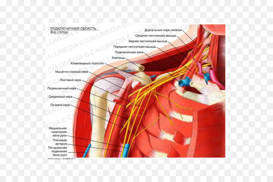 Infraclavicular Fossa Supraclavicular Fossa Subclavian Artery