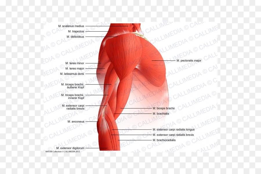 El brazo en el Hombro del sistema Muscular Anatomía del Músculo ...