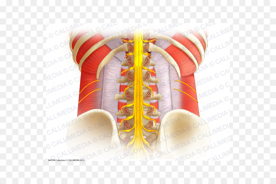Vertebral column Spinal cord Lumbar vertebrae Anatomy Spinal nerve ...