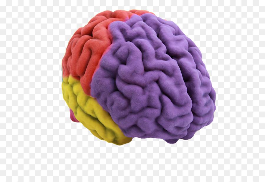 El cerebro humano de la impresión en 3D de la Anatomía - cerebro png ...