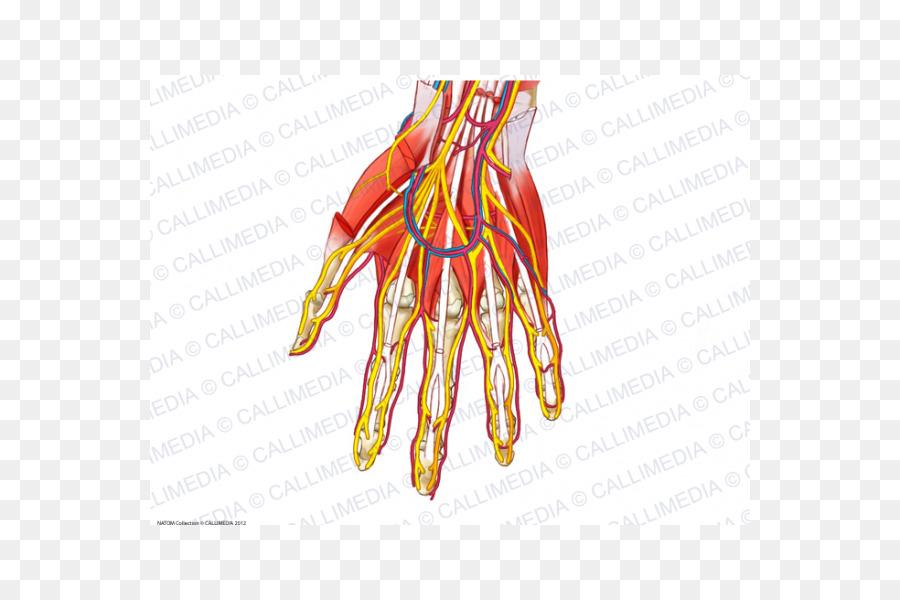 Nerve Upper limb Blood vessel Anatomy Nervous system - hand png ...