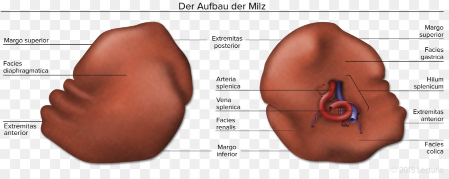 Spleen Human Anatomy Human Body Abdomen Visceral Png Download