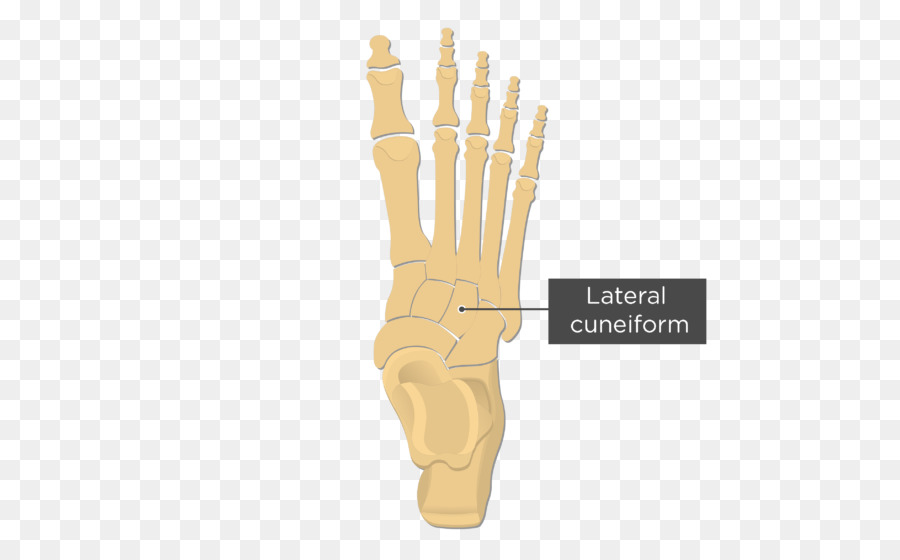 Metatarsal bones Anatomy Fifth metatarsal bone Foot - Cuneiform png ...