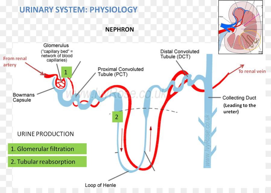 Nefrona Renal de Excreción Anatomía del sistema Reabsorción ...