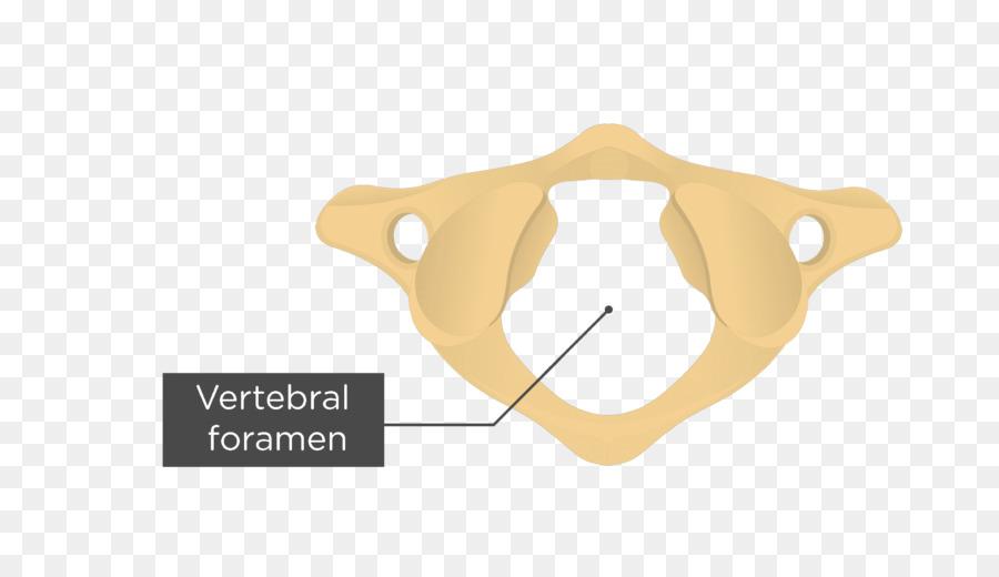 Atlas Axis Anatomy Vertebral column Transverse foramen - skull png ...