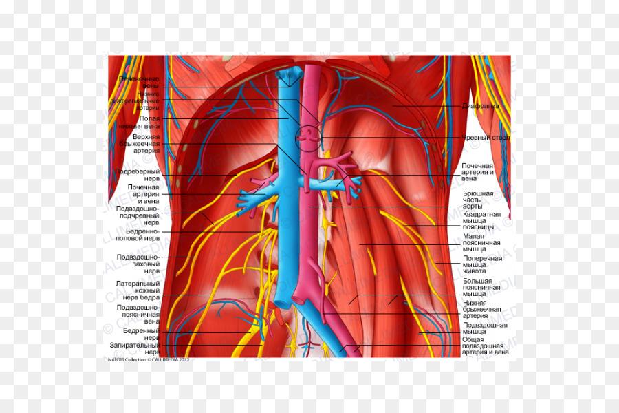 Los vasos sanguíneos de la Anatomía del Abdomen plexo Celíaco de la ...