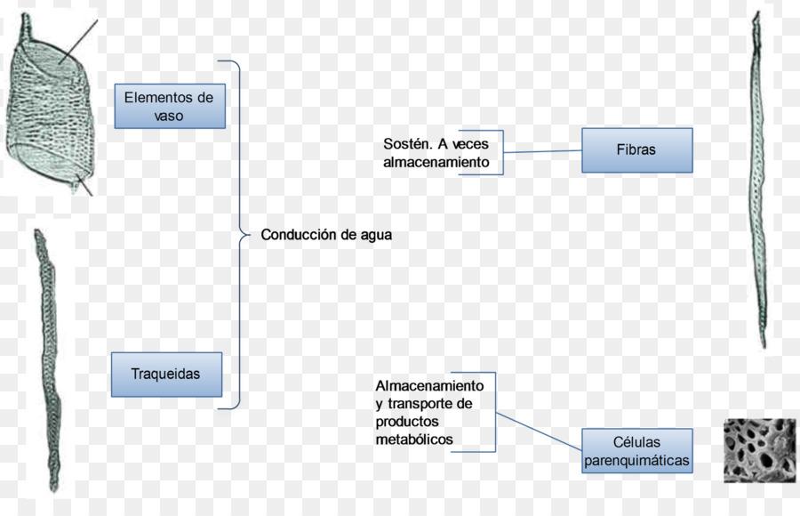 Anatomía de la Floración de la planta del Xilema de la Hoja - planta ...