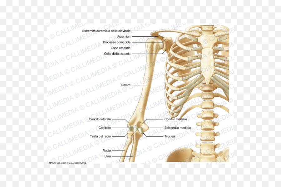 Human Skeleton Human Anatomy Bone Skeleton Png 600600