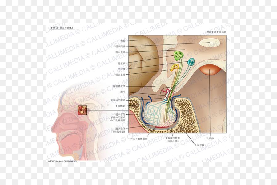Anatomía de la glándula pituitaria glándula Endocrina del ...