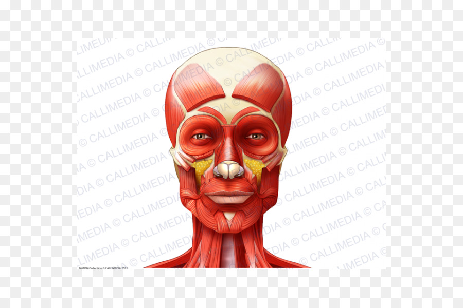Muscle Anatomy Neck Muscular System Head Nose Png Download 600