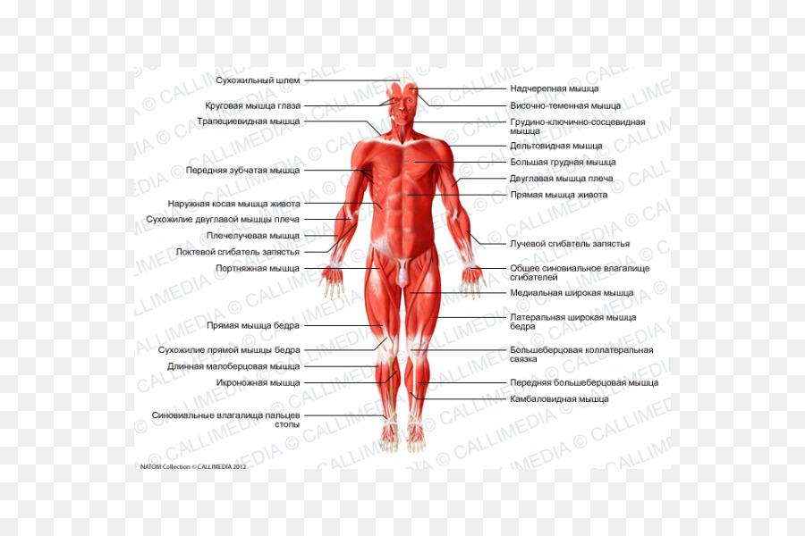 La cadera de Gray Anatomía Muscular del cuerpo Humano - el recto ...
