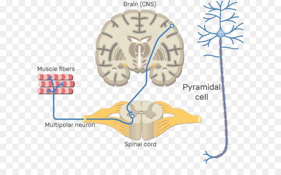 Somatic nervous system Central nervous system Motor neuron Neural ...