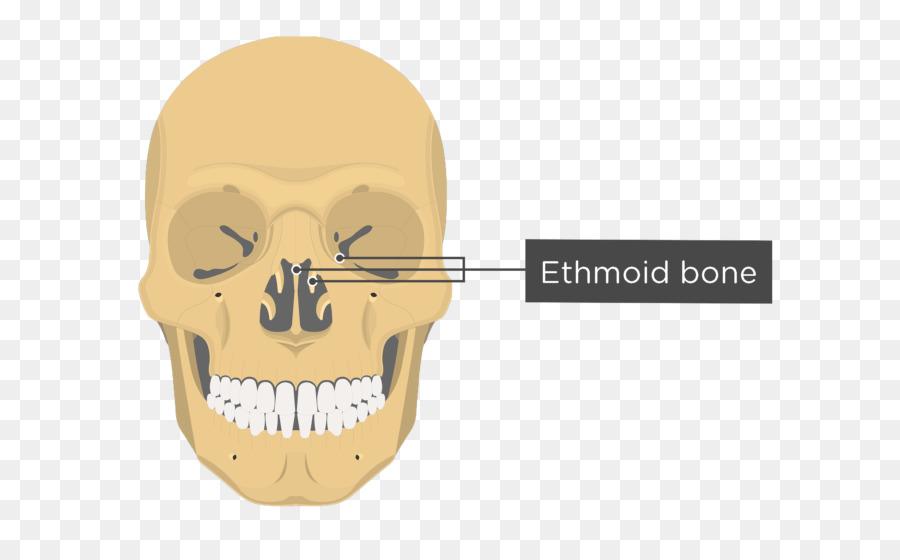 Vomer Lacrimal Bone Nasal Concha Anatomy Nasal Bone Skull And Bone