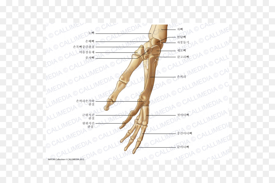 Thumb Bone Huesos de la mano Hand Anatomy - hand png download - 600 ...