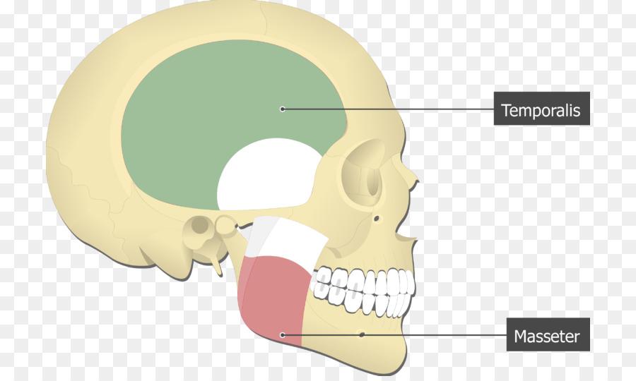 Pterigoideo Medial del músculo pterigoideo Lateral del músculo ...