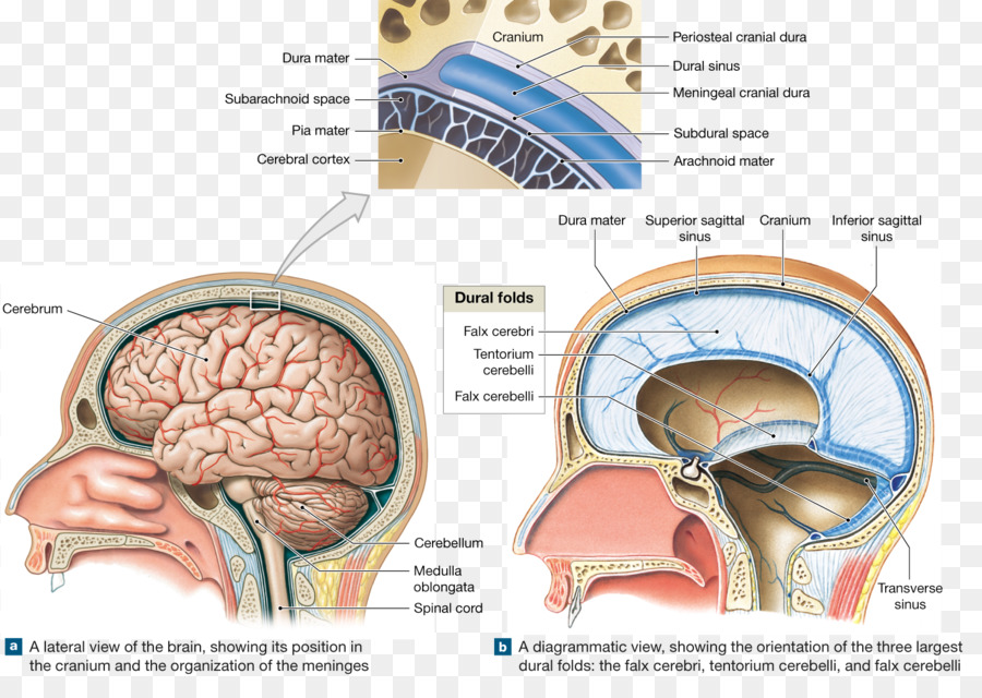Brain Meninges Skull Cranial cavity Anatomy - meninges of the brain ...