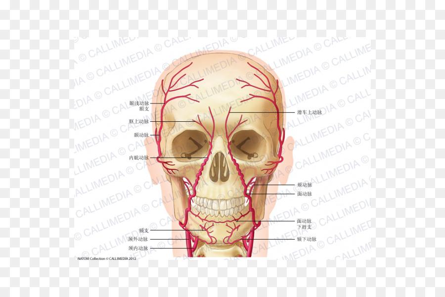 Supratrochlear Anatomía de la arteria Supraorbitario de la arteria ...