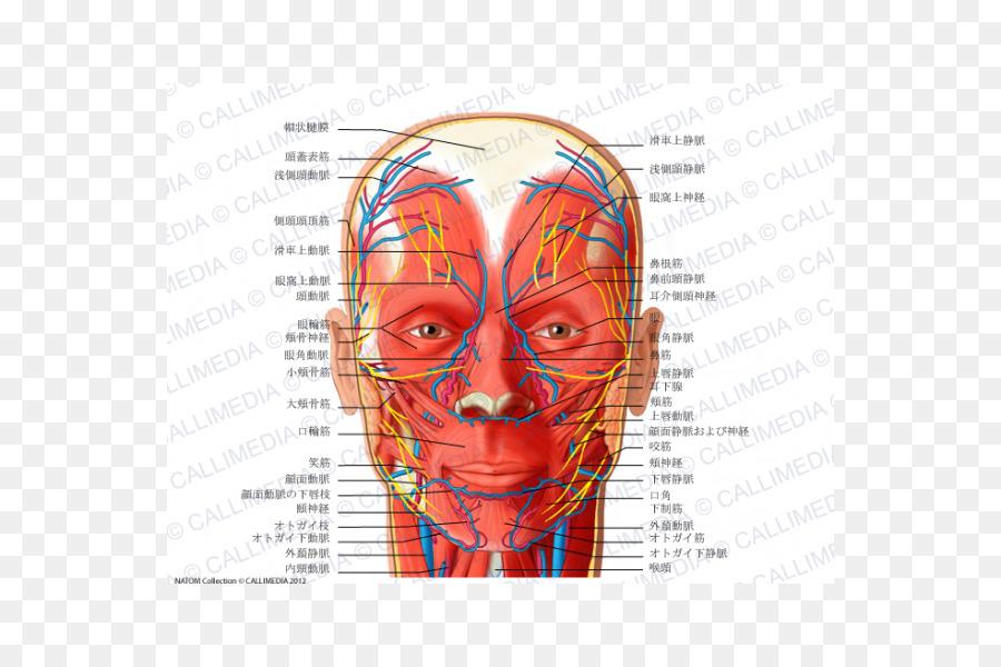 Anatomía de la arteria Angular de la Cabeza en el Cuello - temporal ...