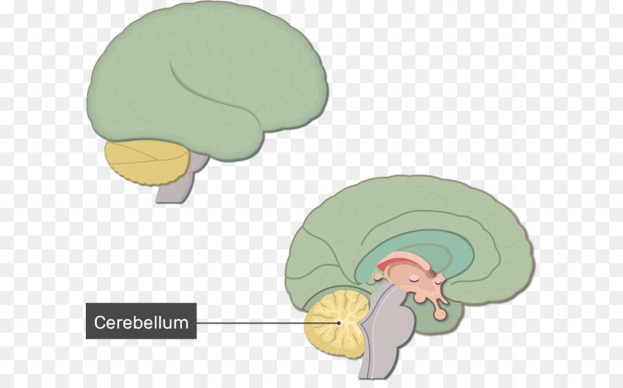 Human brain Anatomy Brainstem Nervous system - Brain function png ...