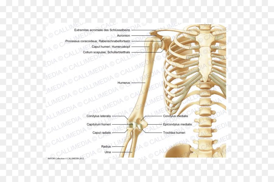 Bone Human Skeleton Anatomy Human Body Upper Limb Arm Png Download
