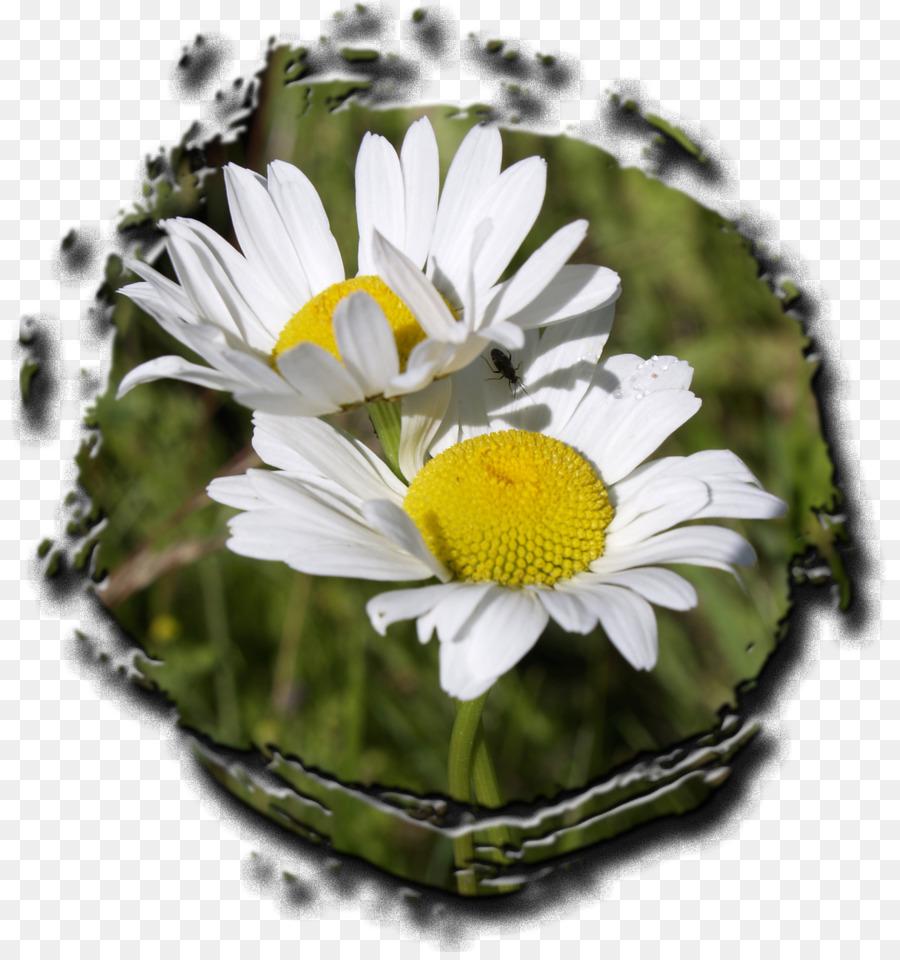Commune Daisy Chrysantheme Fleur Marguerite Chrysantheme