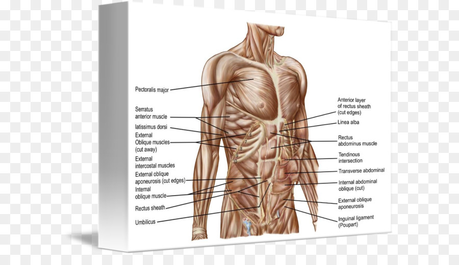 Rectus Abdominis Muscle Abdomen Human Body Human Anatomy Others