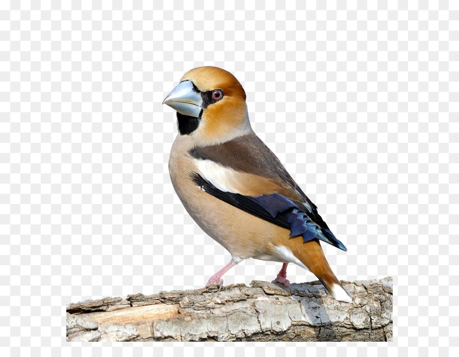 Finken Vogel Kernbeißer House Sparrow Schnabel Vogel Png