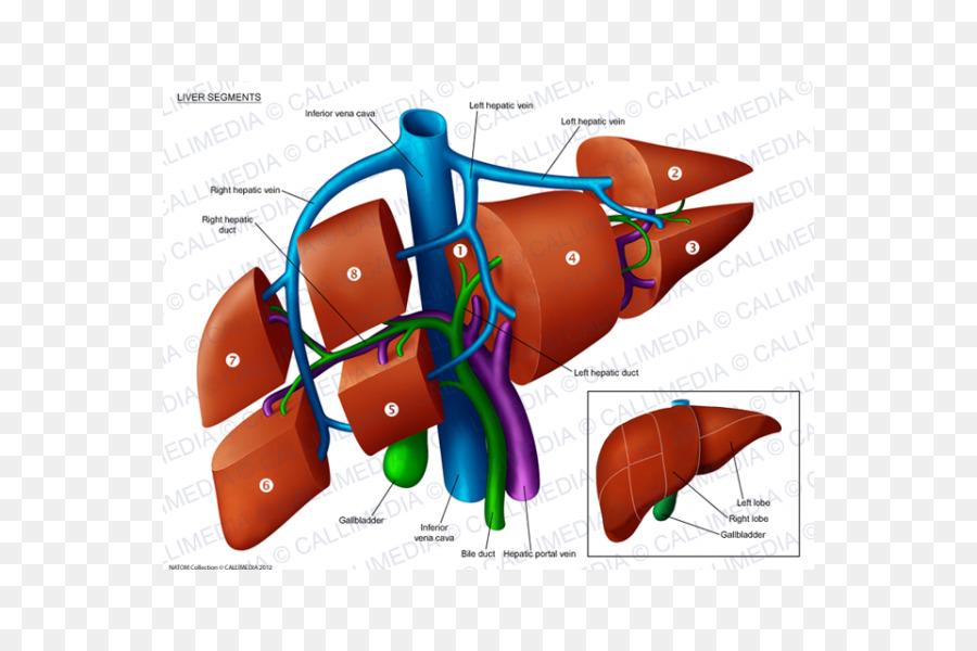 Liver Segment Anatomy Portal Vein Hepatic Veins Anatomi Png