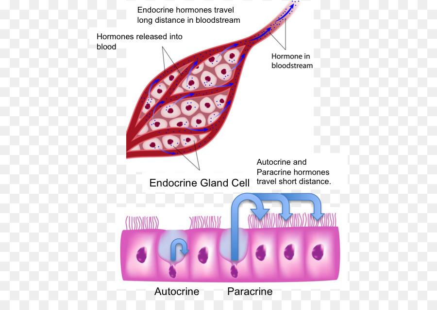 Endocrine Gland Endocrine System Human Body Hormone Endocrine