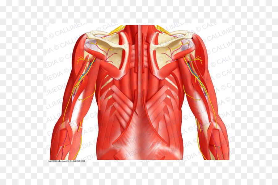 Contenedor posterior del músculo superior del Abdomen Envoltura ...