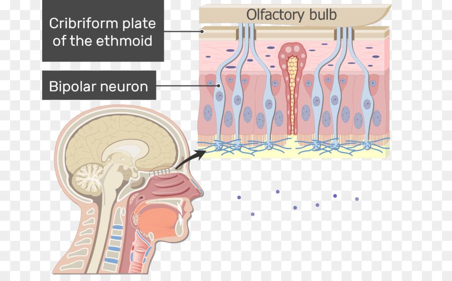 Nose Bipolar neuron Anatomy Olfactory receptor neuron - nose 731*550 ...
