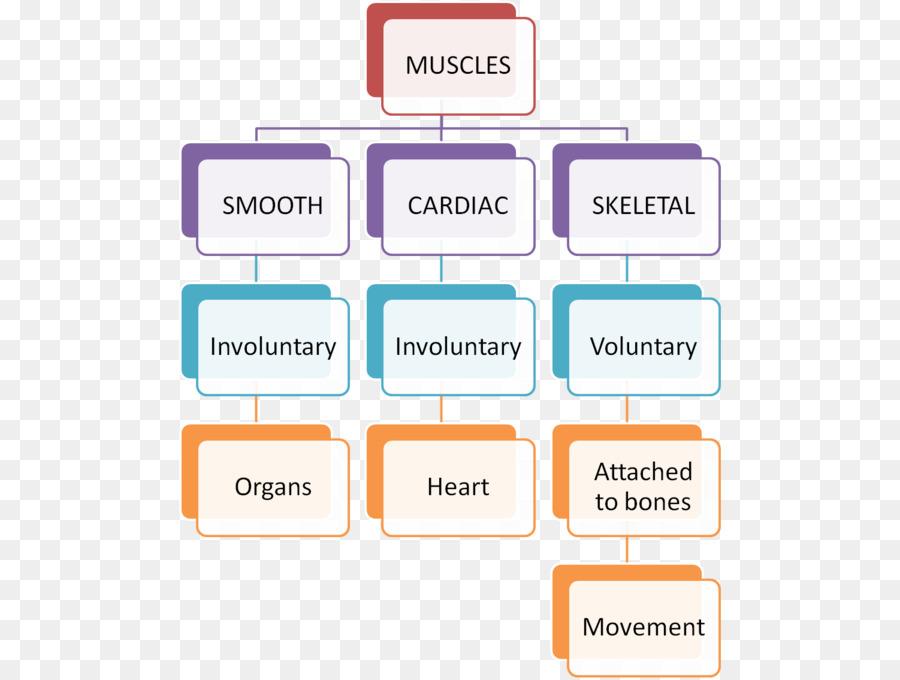 Línea De La Marca De La Organización - Anatomía del músculo del ...