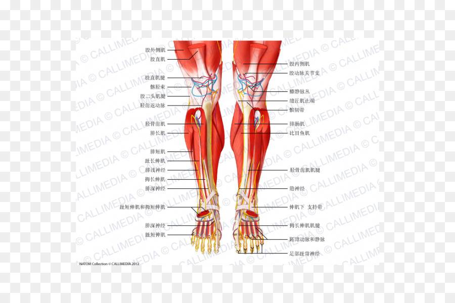 Muscle Anatomy Crus Muscular system Knee - rectus femoris function ...