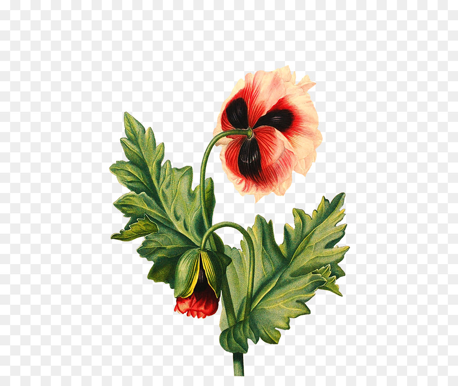 Flower drawing poppy flower png download 525750 free flower drawing poppy flower mightylinksfo