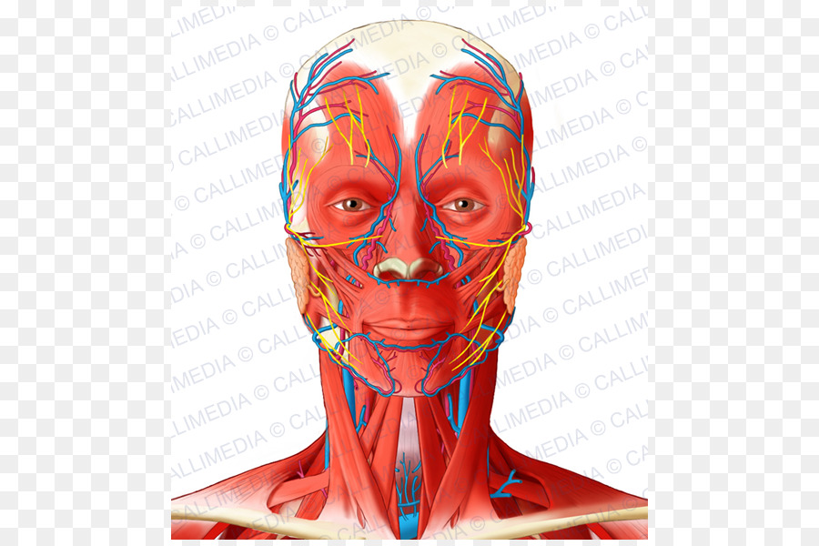Facial artery Angular artery Head and neck anatomy Muscle ...