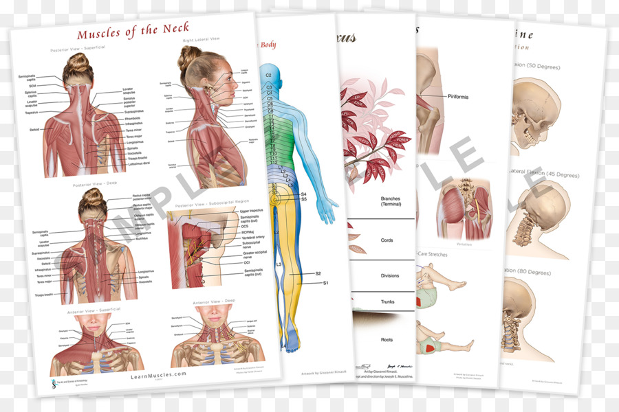 Muscles Of The Neck The Endless Web Fascial Anatomy And Physical