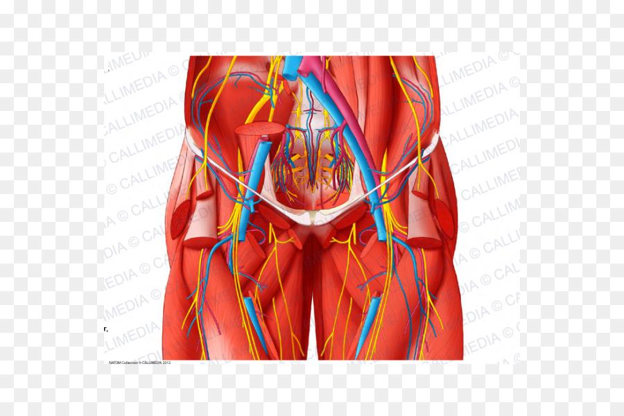 Los vasos sanguíneos de la Pelvis de la Anatomía del cuerpo Humano ...