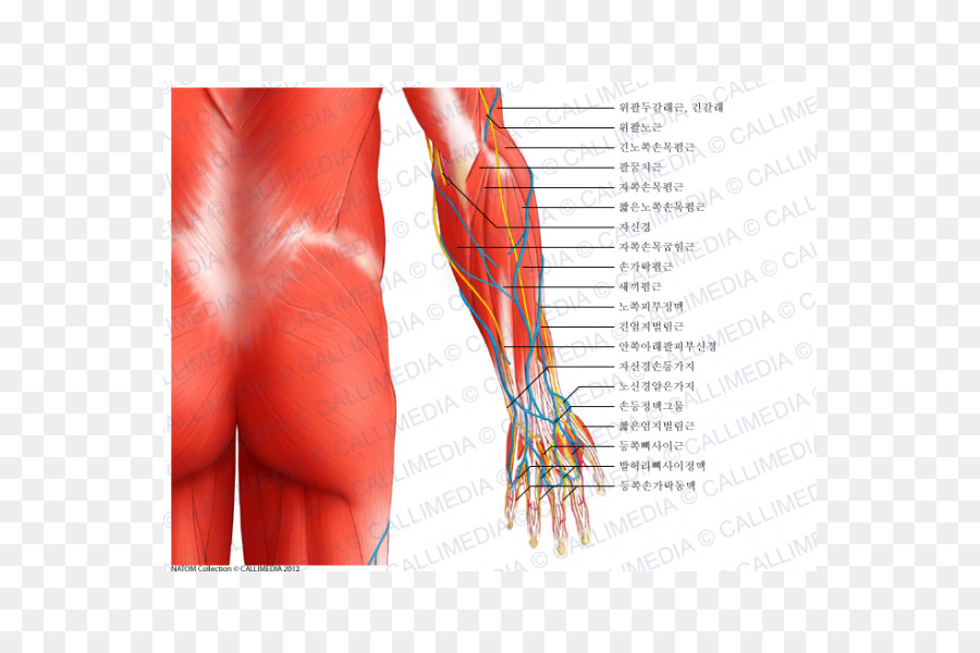 Elbow Anconeus Muscle Forearm Human Body Arm Png Download 600