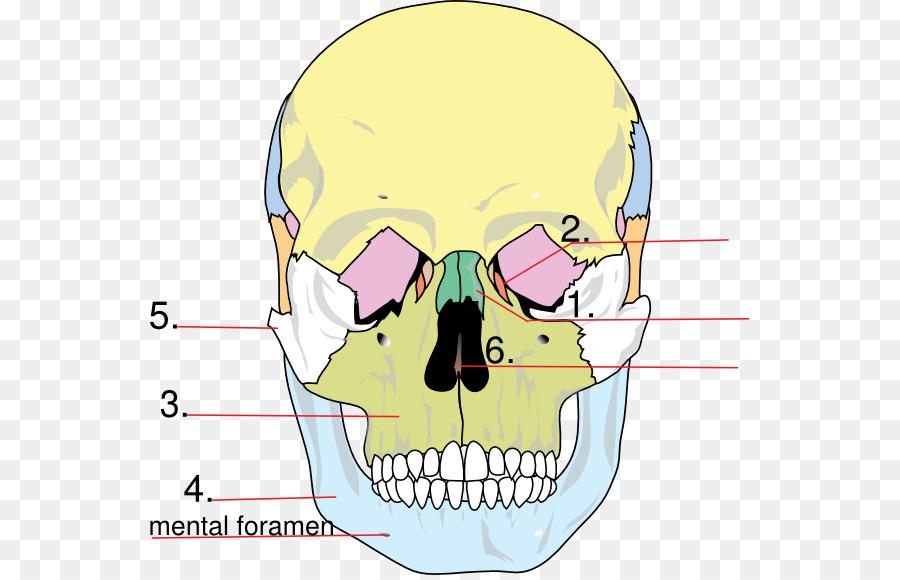 Facial skeleton Skull Anatomy Human skeleton Lacrimal bone - skull ...