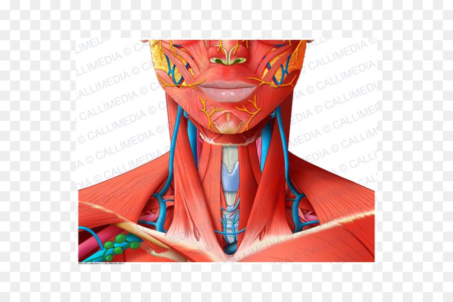 Cabeza y cuello anatomía Muscular del cuerpo Humano - temporal ...