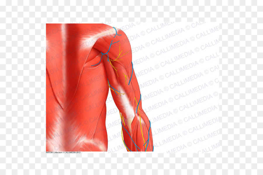 Triceps Brachii Muscle Arm Teres Major Muscle Shoulder Arm Png